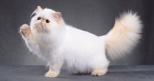 بررسی شرایط نگهداری گربه پرشین