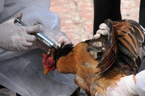 انواع واکسن پرندگان