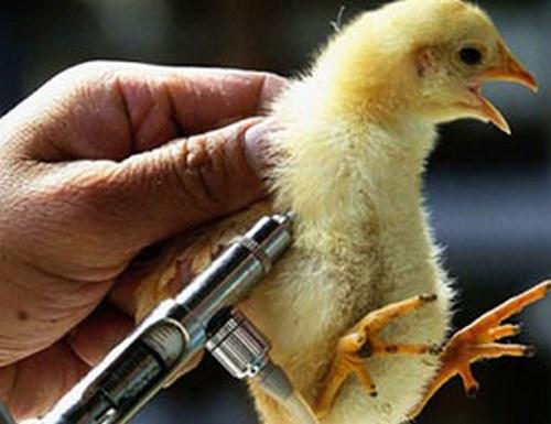 واکسن پرندگان خانگی