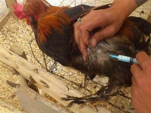 واکسن ابله پرندگان