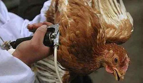 واکسن سه گانه پرندگان
