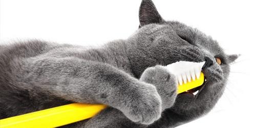 خمیر دندان گربه برای اسکاتیش
