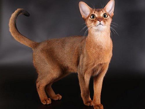 گربه شرقی