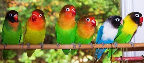 پرندگان خانگی