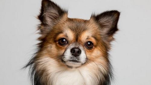 تاریخچه سگ شیواوا