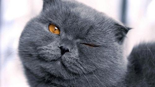 معرفی بهترین نژاد گربه