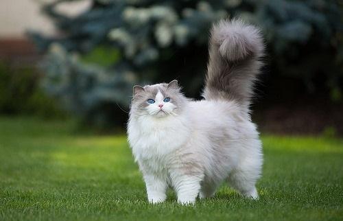 بهترین نژاد گربه برای نگهداری در خانه