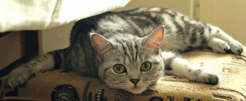 سرپرستی گربه ها