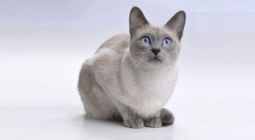 بهترين نژاد گربه خانگي