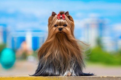 سوالات متداول درباره سگ یورکشایر