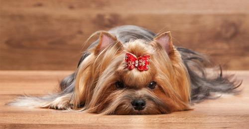 مشخصات ظاهری سگ یورکشایر