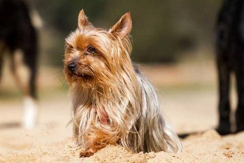 تاریخچه سگ یورکشایر
