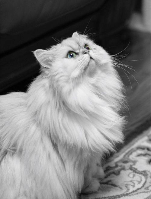 بررسی دقیق از رنگ بندی گربه پرشین