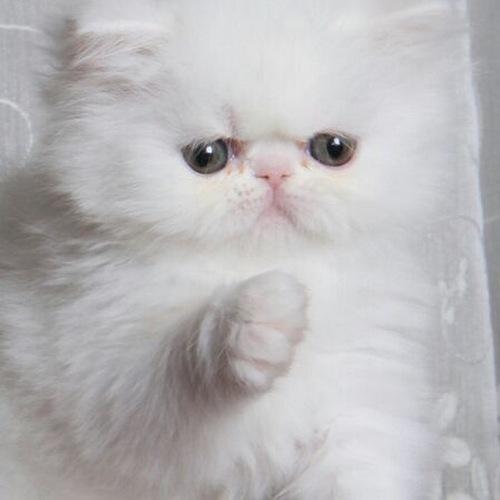 انواع گربه پرشین