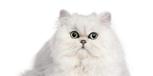 گربه پرشین گارفیلدی