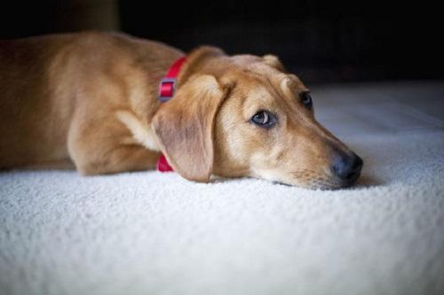 بیماری کوشینگ در سگ