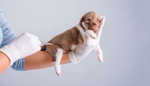 راه های پیشگیری از بیماری دیستمپر در سگ