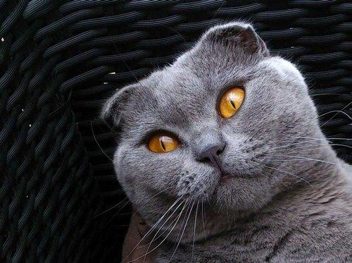 انواع بیماری گربه ها اسکاتیش