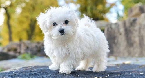 بیماری های شایع سگ شیتزو