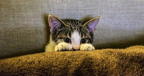 سرطان گربه