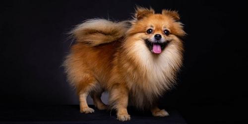مقایسه سگ پامرانین با مالتیز