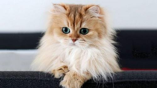 استفراغ گربه