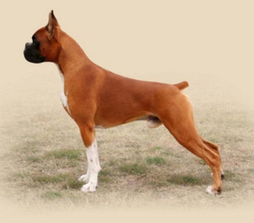 مقایسه سگ باکسر با پیت بول از نظر رشد بدنی و سن بلوغ