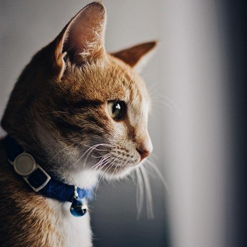 قلاده پیاده روی گربه