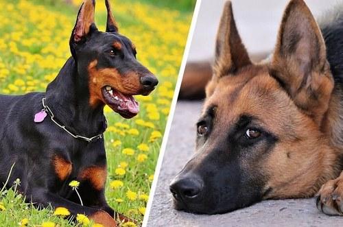 در جنگ سگ ژرمن با دوبرمن چه کسی برنده می شود؟