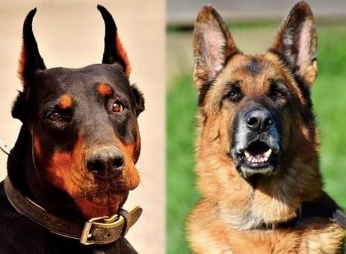 مقایسه سگ ژرمن با دوبرمن از نظر رشد بدنی و سن بلوغ