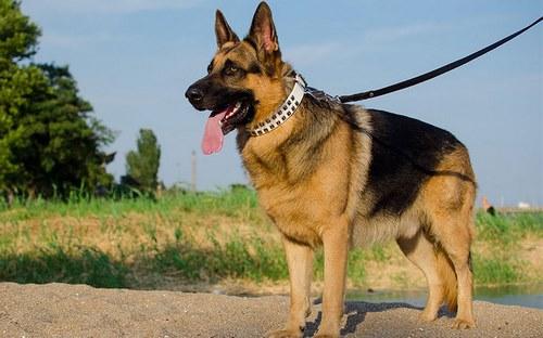 مقایسه سگ ژرمن با دوبرمن