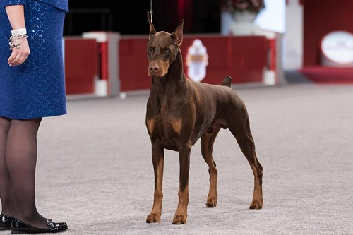مقایسه اصالت و قدمت سگ ژرمن با دوبرمن