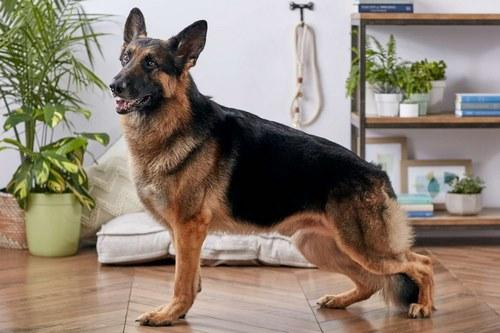 مقایسه سگ ژرمن با هاسکی از نظر رشد بدنی و سن بلوغ