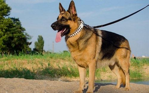مقایسه اصالت و قدمت سگ ژرمن با هاسکی