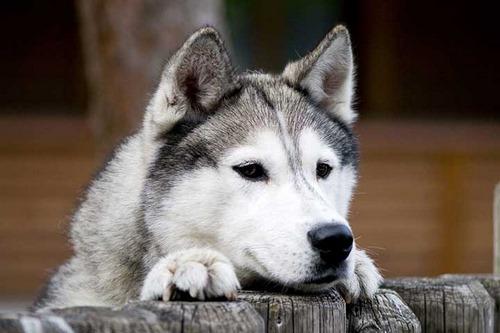 در جنگ سگ ژرمن با هاسکی چه کسی برنده می شود؟