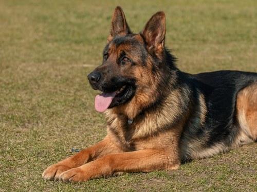 مقایسه سگ ژرمن با پیت بول
