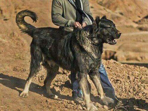مقایسه تغذیه سگ ژرمن با سرابی