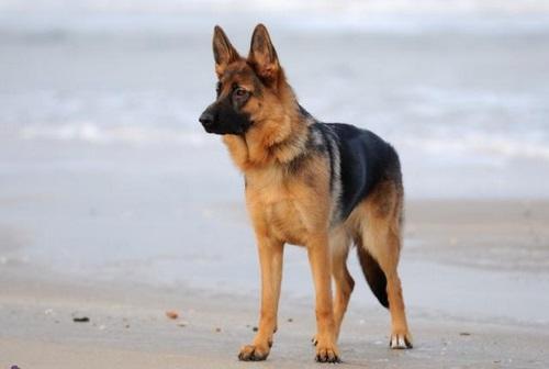 مقایسه سگ ژرمن با سرابی