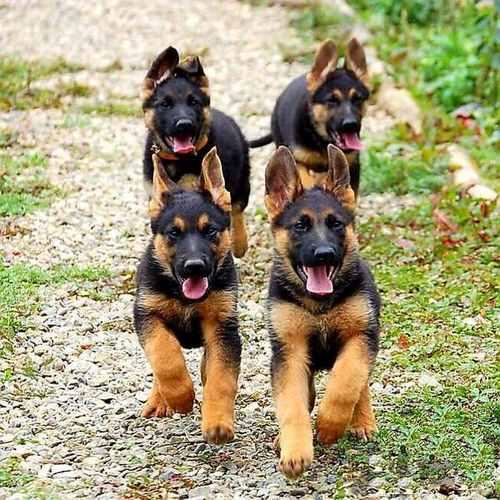مقایسه سگ ژرمن با سرابی از نظر رشد بدنی و سن بلوغ