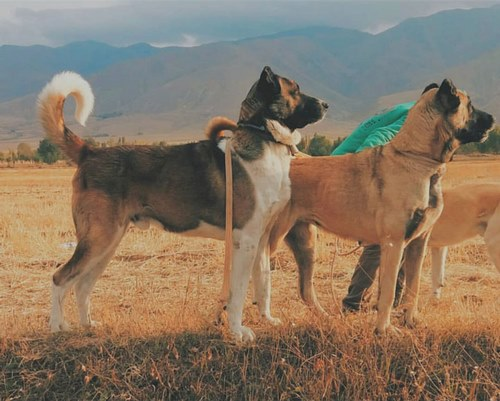 مقایسه سگ سرابی با قدرجونی از نظر رشد بدنی و سن بلوغ