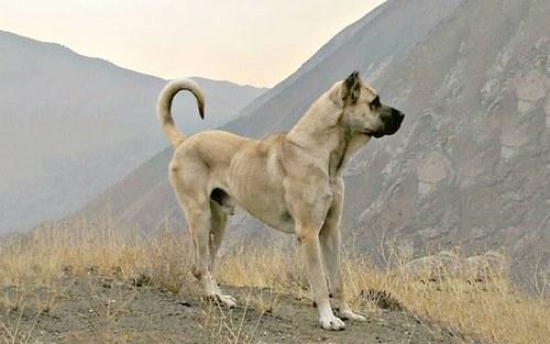 مقایسه سگ سرابی با قدرجونی