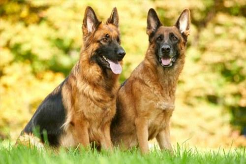 مقایسه سگ نر و ماده