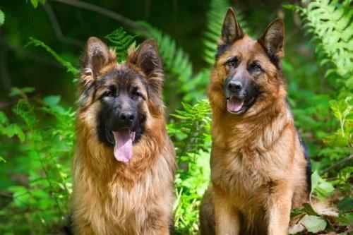 سگ ژرمن نر و ماده