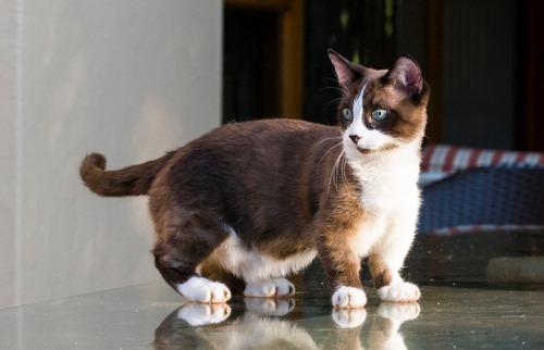 گربه عروسکی