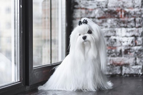 سگ مو بلند عروسکی چه نژادی است؟