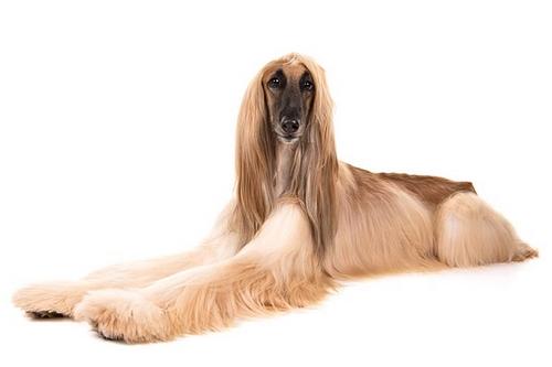 غذای سگ مو بلند چیست؟