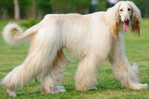 چه عواملی در ریزش مو این سگ ها تاثیر دارد؟