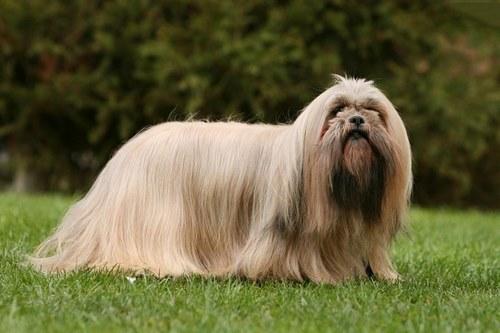 5 نژاد از محبوب ترین های سگ مو بلند