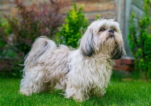 توله سگ مو بلند هم داریم؟