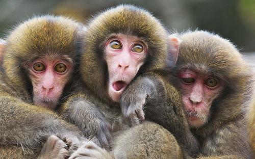 میمون در کدام دسته از حیوانات است؟